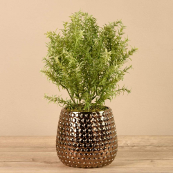 Potted Asparagus