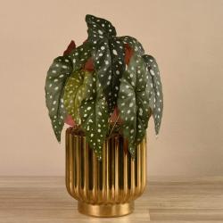 Begonia Maculata in Gold Vase