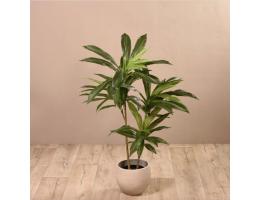 Rhadidophora Tree