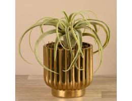 Potted Tillandsia in Gold Vase